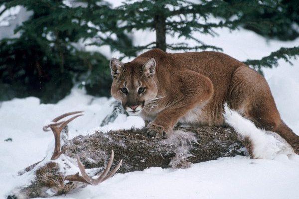 Aptal Puma Sendromu